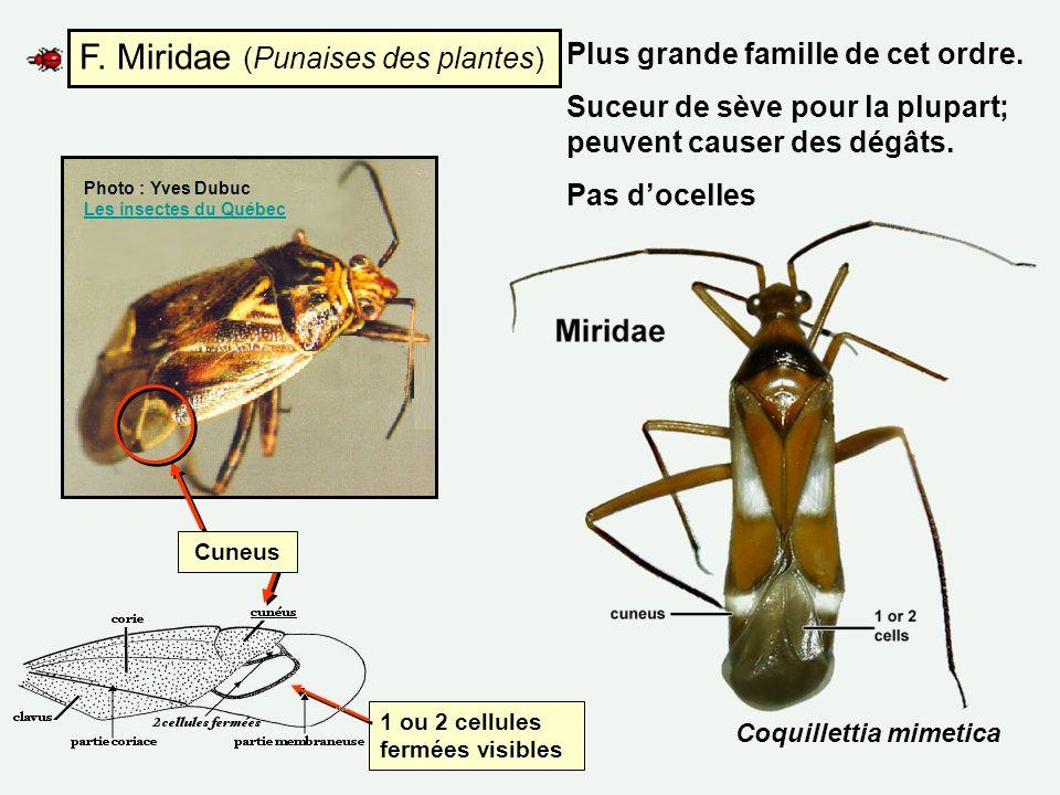 F. Miridae (Punaises des plantes)