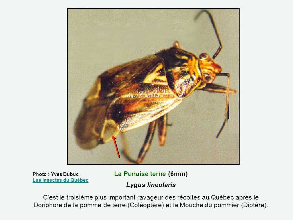 La Punaise terne (6mm) Lygus lineolaris