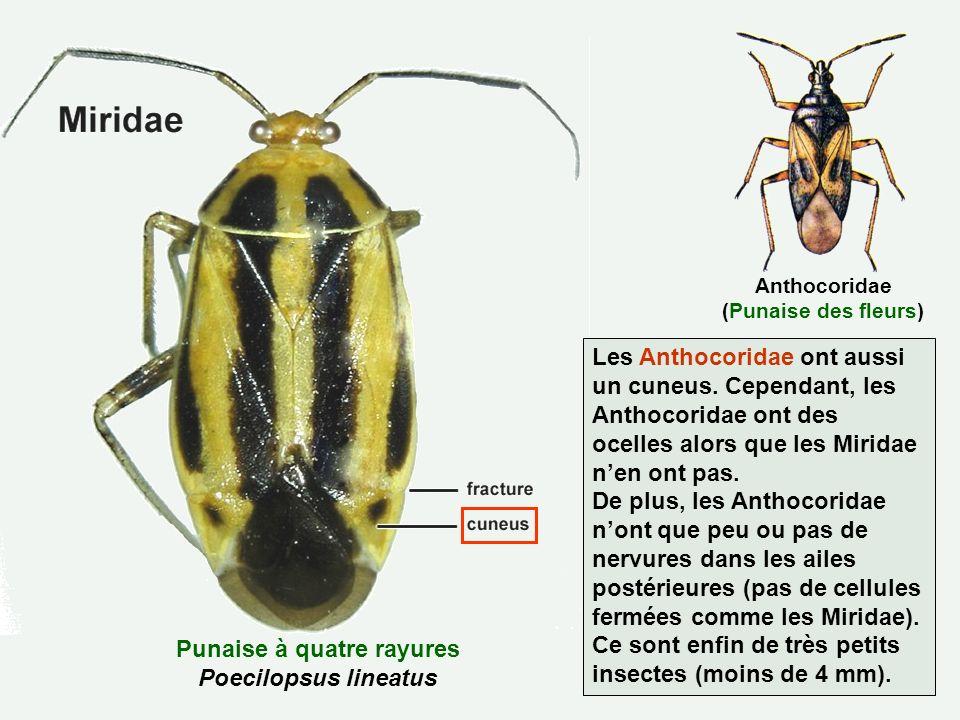 Punaise à quatre rayures Poecilopsus lineatus