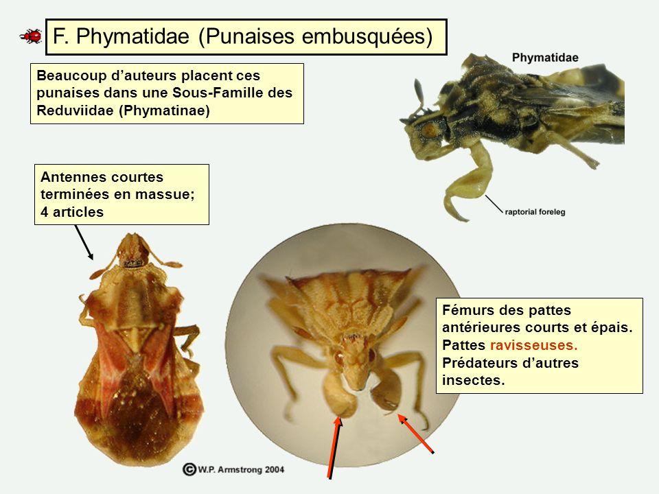 F. Phymatidae (Punaises embusquées)