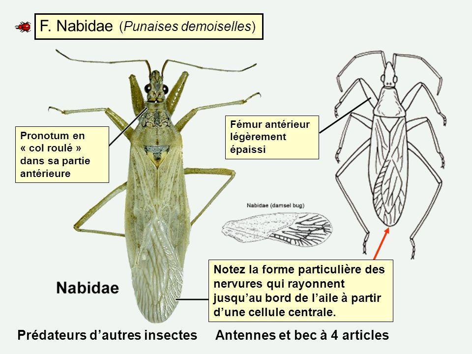 F. Nabidae (Punaises demoiselles)