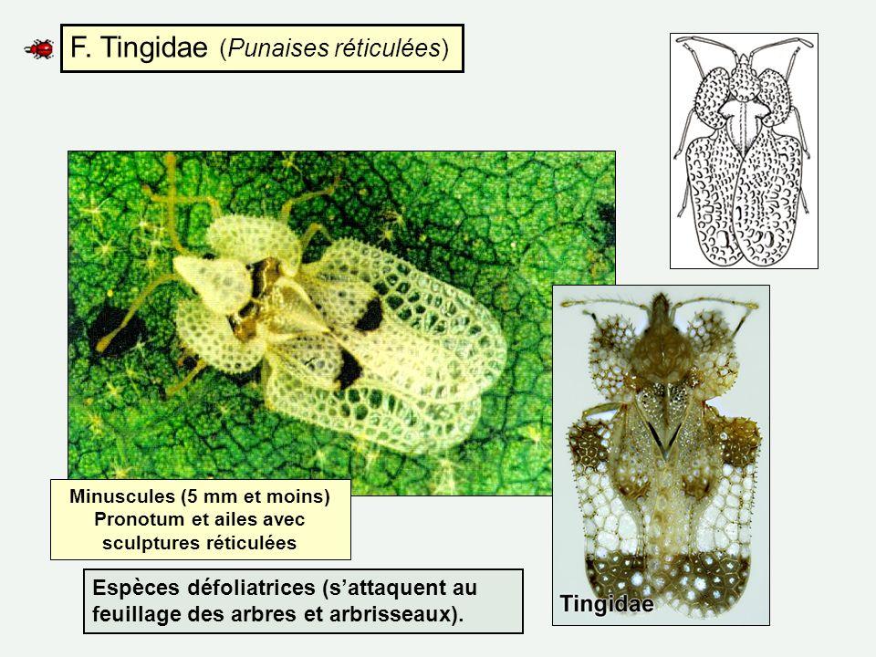 F. Tingidae (Punaises réticulées)