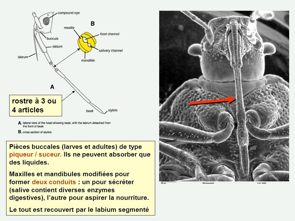 rostre à 3 ou 4 articles Pièces buccales (larves et adultes) de type piqueur / suceur. Ils ne peuvent absorber que des liquides.