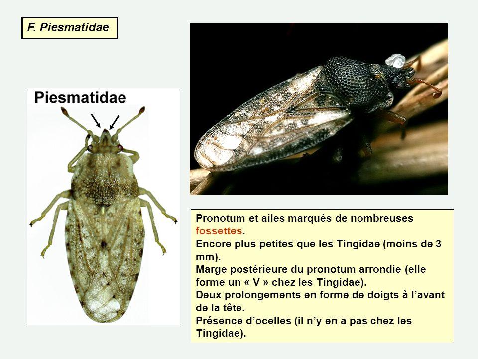 F. Piesmatidae Pronotum et ailes marqués de nombreuses fossettes.