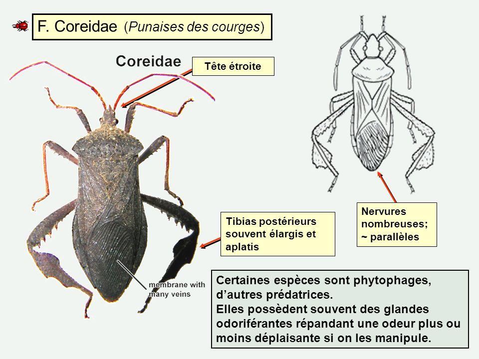 F. Coreidae (Punaises des courges)