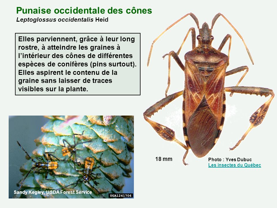 Punaise occidentale des cônes Leptoglossus occidentalis Heid