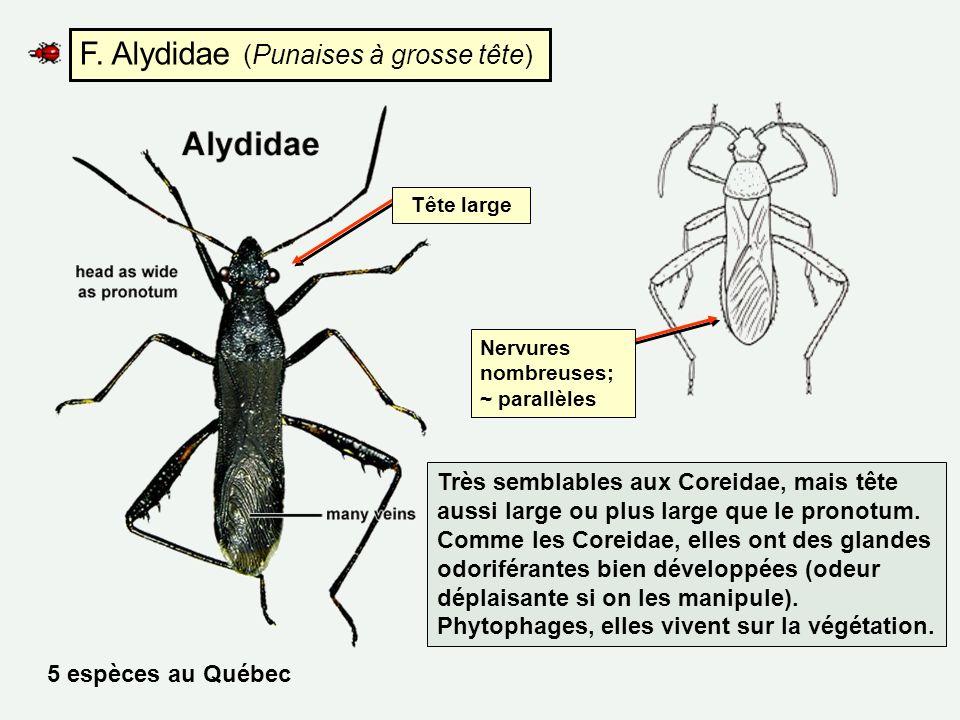 F. Alydidae (Punaises à grosse tête)