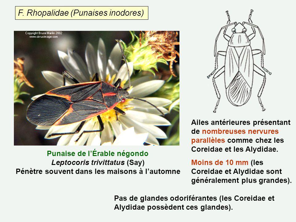 F. Rhopalidae (Punaises inodores)