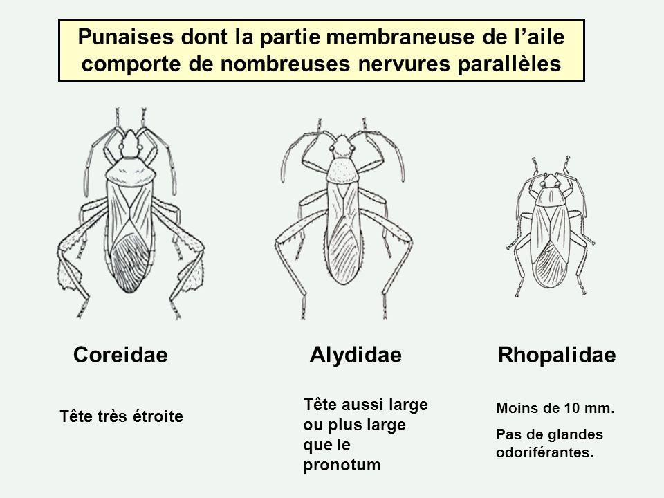 Punaises dont la partie membraneuse de l'aile comporte de nombreuses nervures parallèles