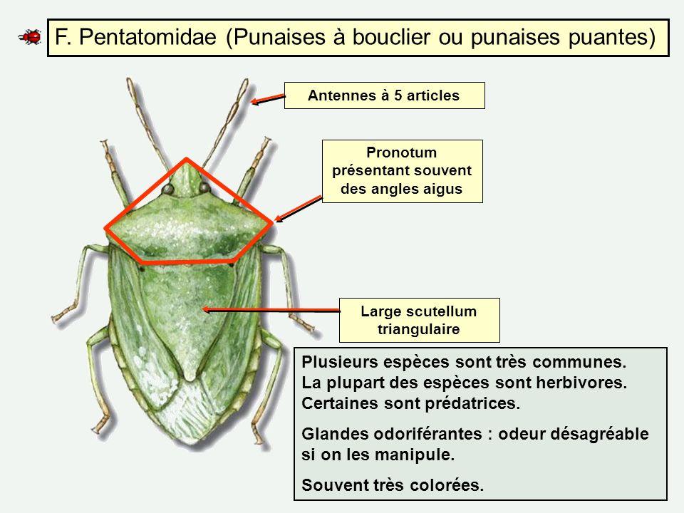 F. Pentatomidae (Punaises à bouclier ou punaises puantes)