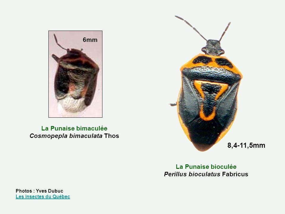 8,4-11,5mm 6mm La Punaise bimaculée Cosmopepla bimaculata Thos
