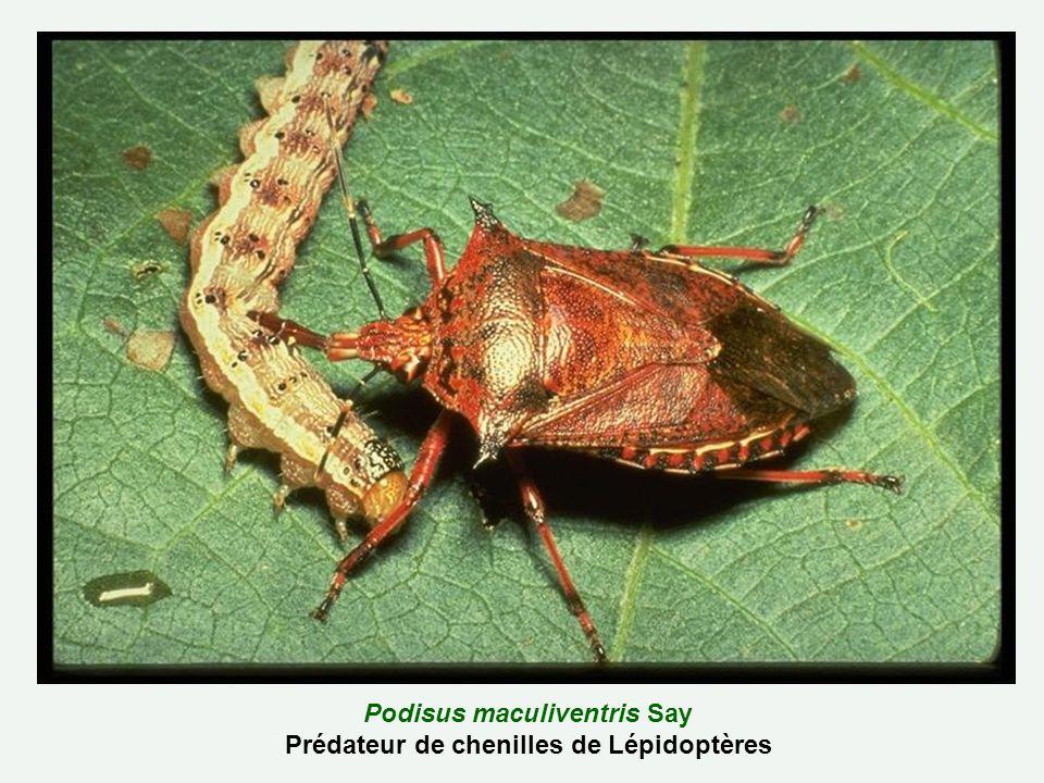 Podisus maculiventris Say Prédateur de chenilles de Lépidoptères