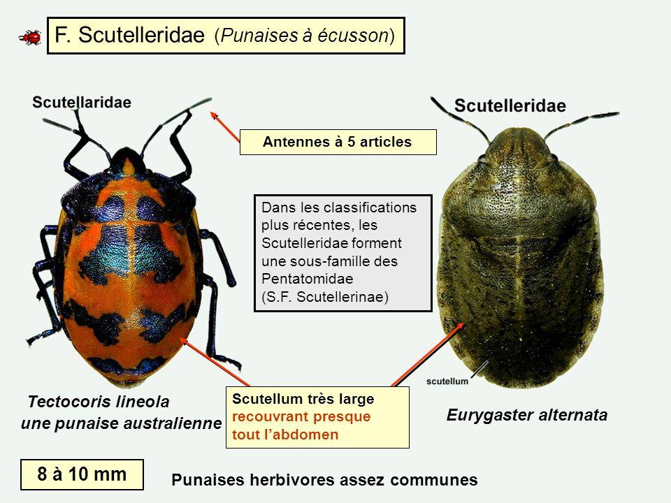 F. Scutelleridae (Punaises à écusson)