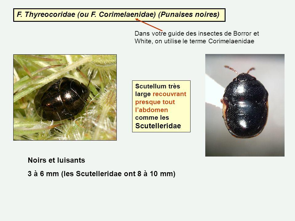 F. Thyreocoridae (ou F. Corimelaenidae) (Punaises noires)