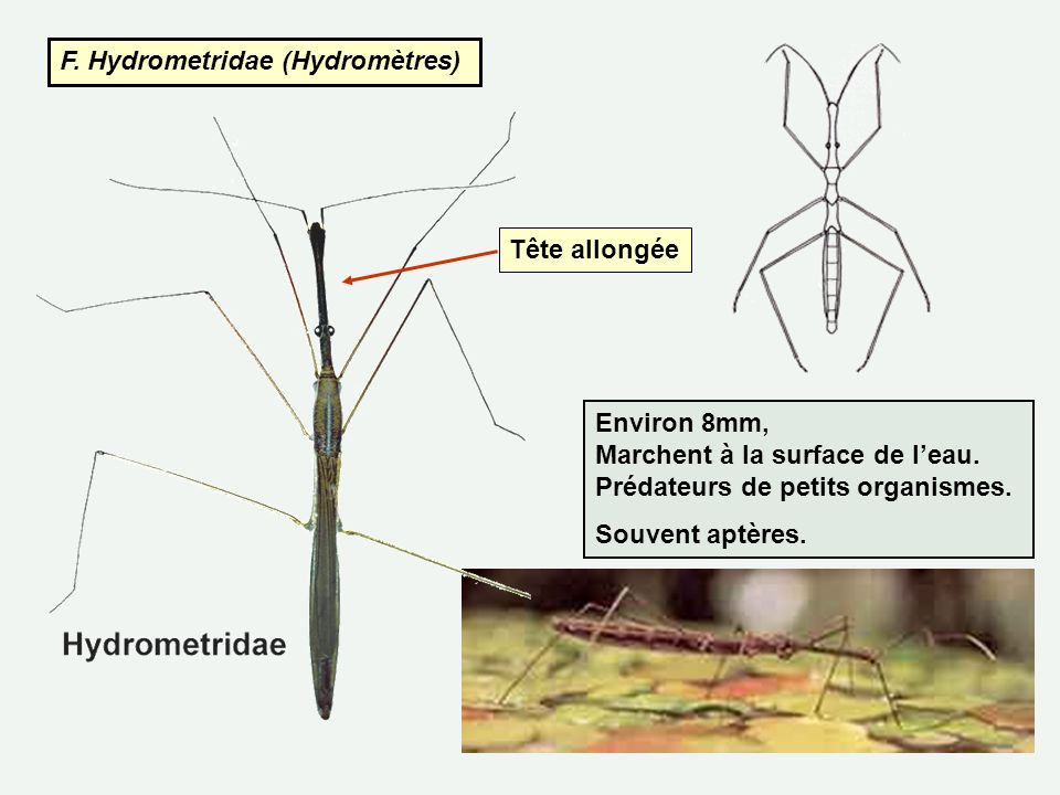F. Hydrometridae (Hydromètres)