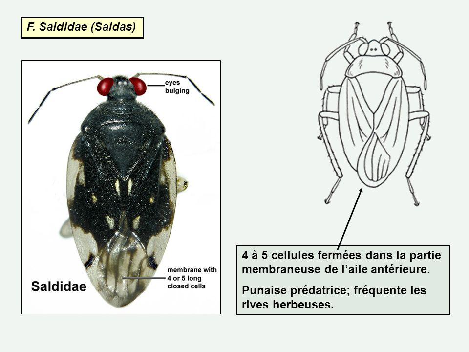 F. Saldidae (Saldas) 4 à 5 cellules fermées dans la partie membraneuse de l'aile antérieure.