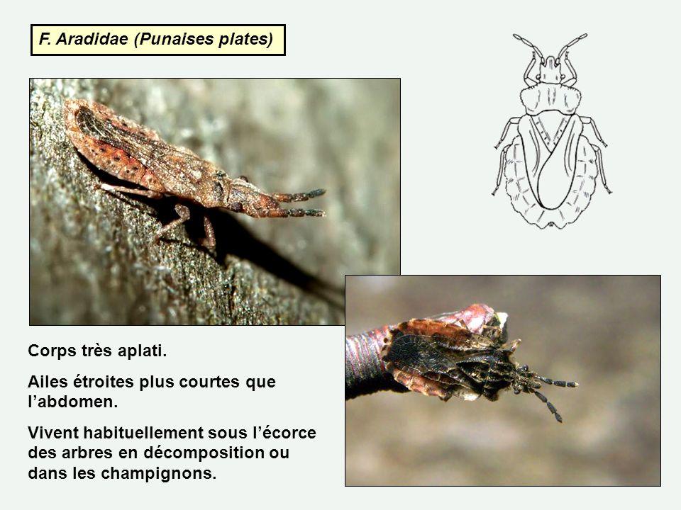 F. Aradidae (Punaises plates)