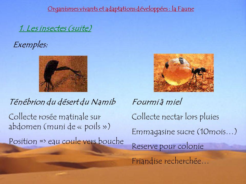 Ténébrion du désert du Namib