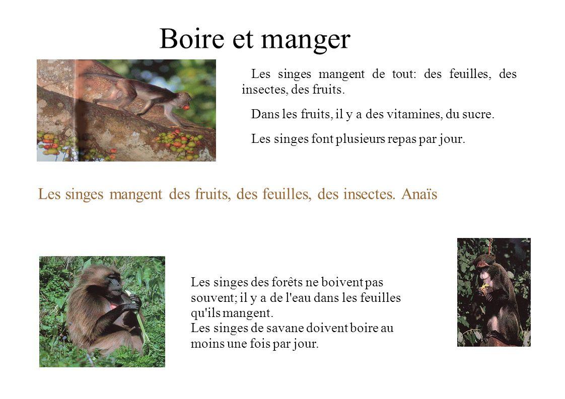 Boire et manger Les singes mangent de tout: des feuilles, des insectes, des fruits. Dans les fruits, il y a des vitamines, du sucre.
