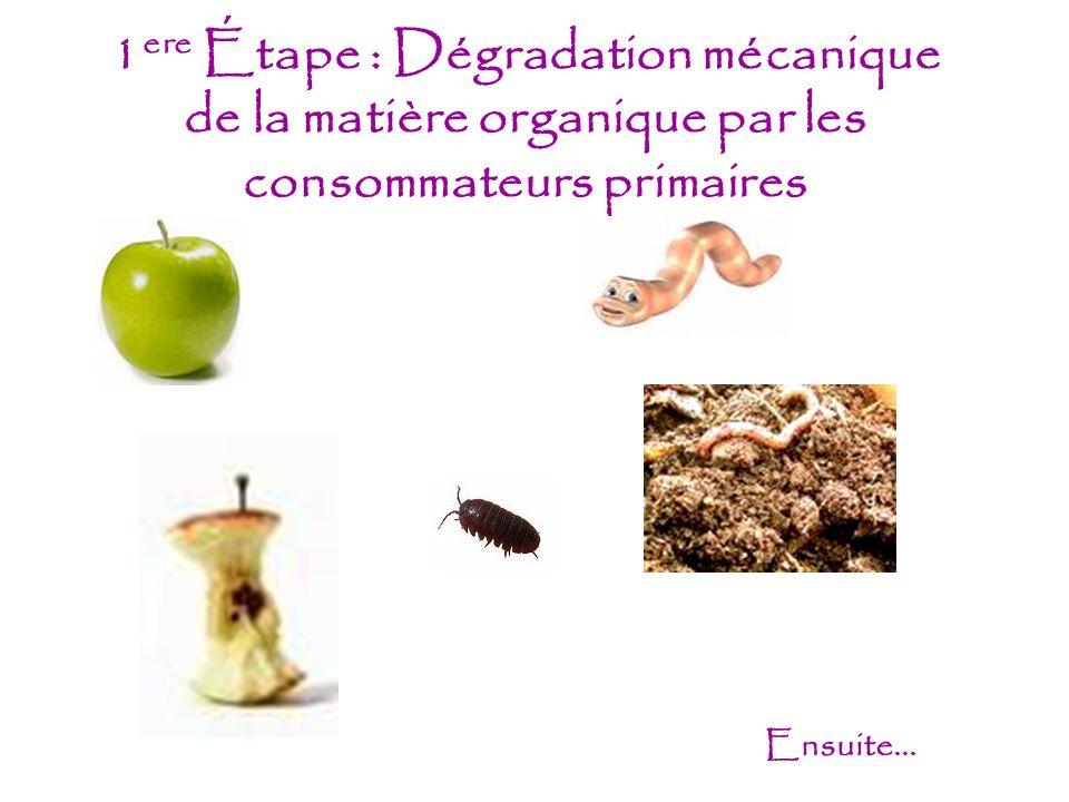 1ere Étape : Dégradation mécanique de la matière organique par les consommateurs primaires