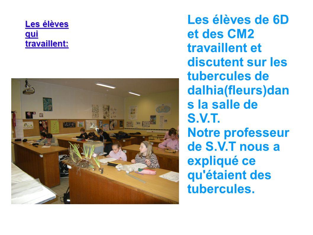 Les élèves de 6D et des CM2 travaillent et discutent sur les tubercules de dalhia(fleurs)dans la salle de S.V.T.