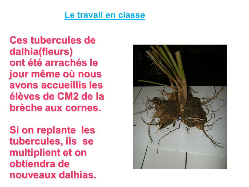 Ces tubercules de dalhia(fleurs)