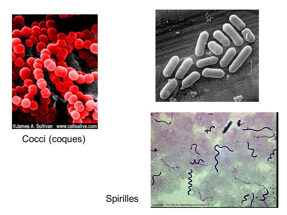 Bacilles Cocci (coques) Spirilles