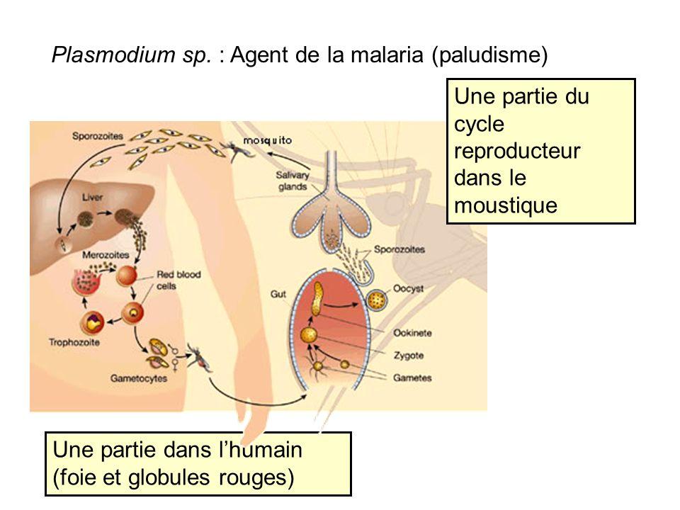 Plasmodium sp. : Agent de la malaria (paludisme)