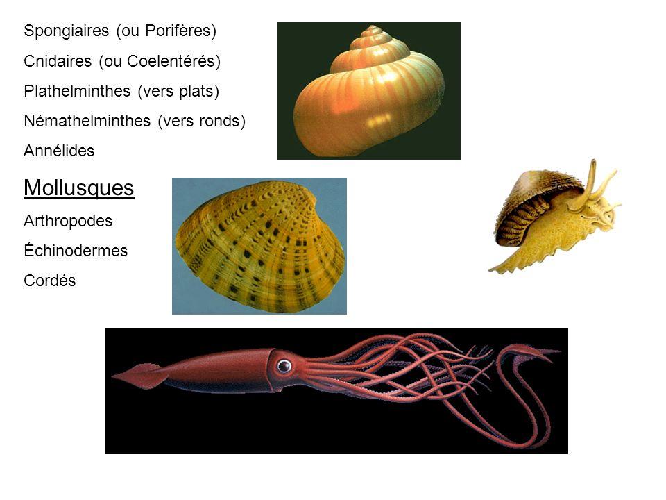 Mollusques Spongiaires (ou Porifères) Cnidaires (ou Coelentérés)