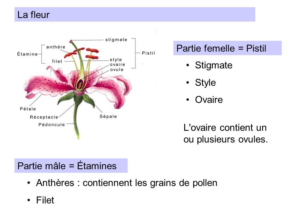 La fleur Partie femelle = Pistil. Stigmate. Style. Ovaire. L ovaire contient un ou plusieurs ovules.