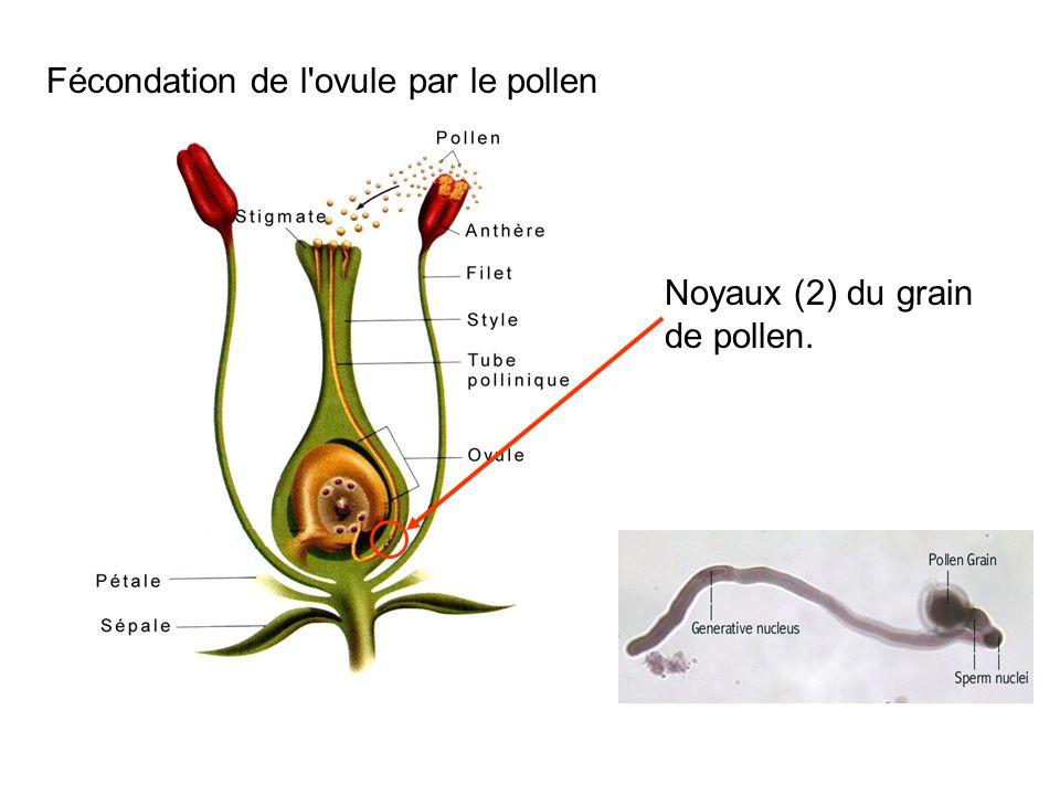 Fécondation de l ovule par le pollen