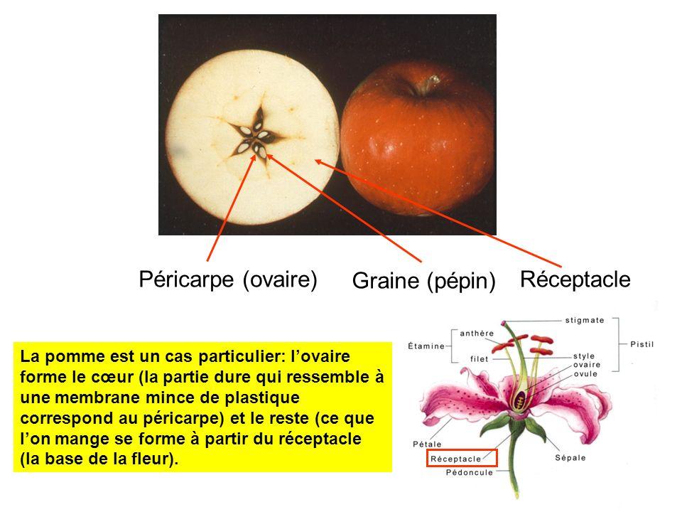 Péricarpe (ovaire) Graine (pépin) Réceptacle