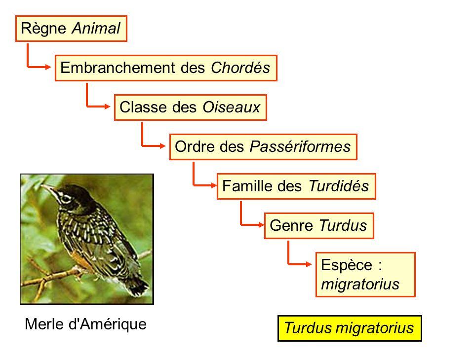 Règne Animal Embranchement des Chordés. Classe des Oiseaux. Ordre des Passériformes. Famille des Turdidés.