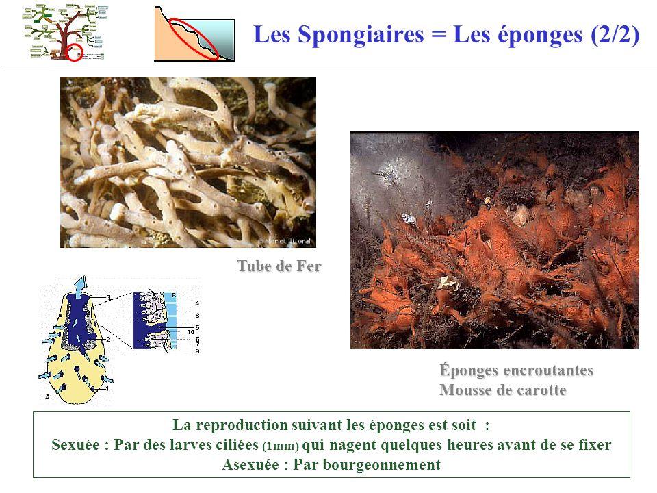 Les Spongiaires = Les éponges (2/2)