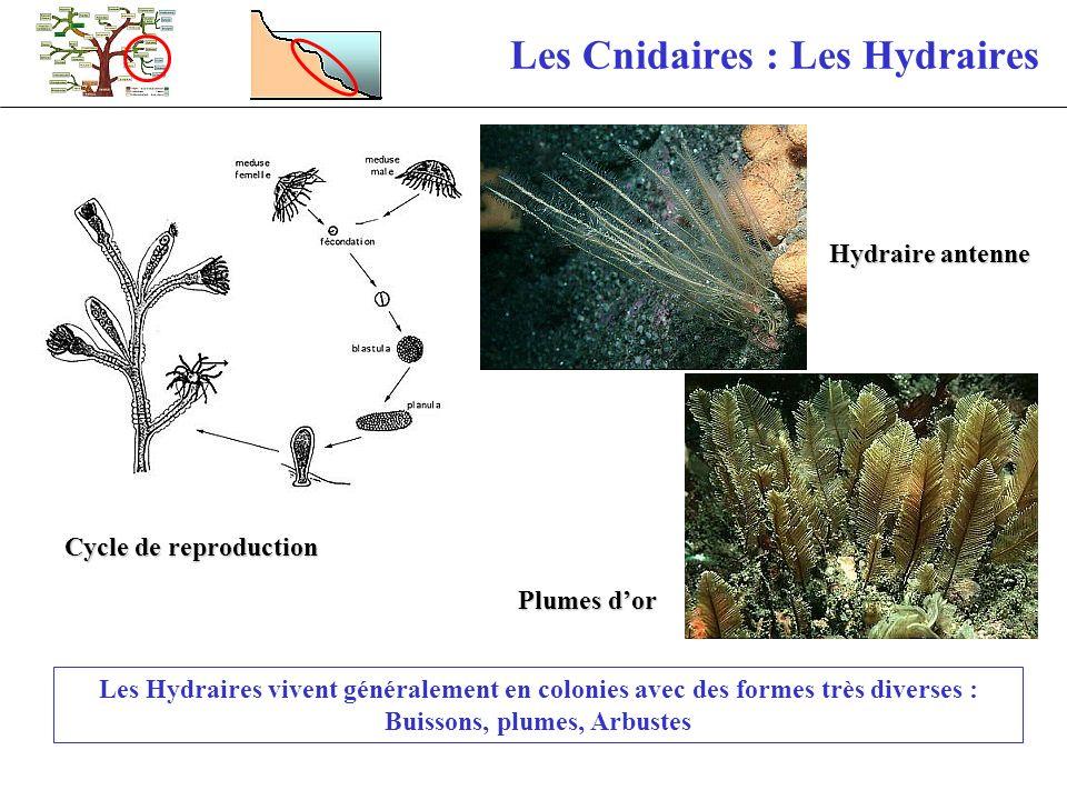 Les Cnidaires : Les Hydraires