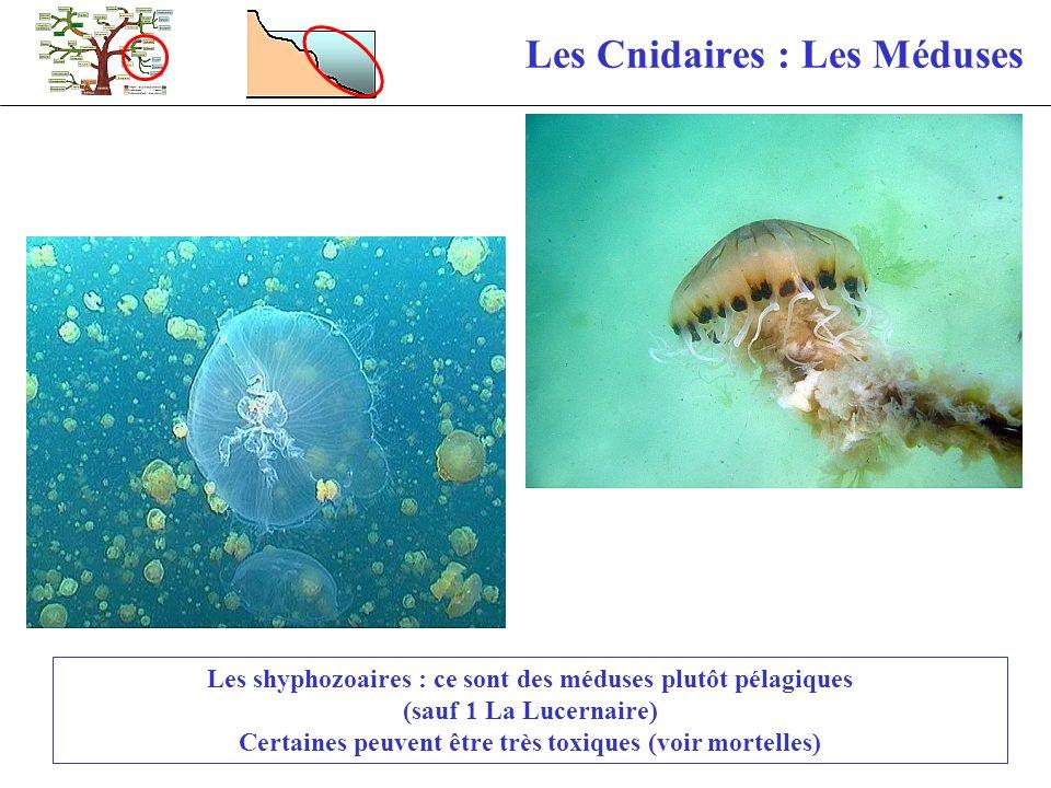 Les Cnidaires : Les Méduses