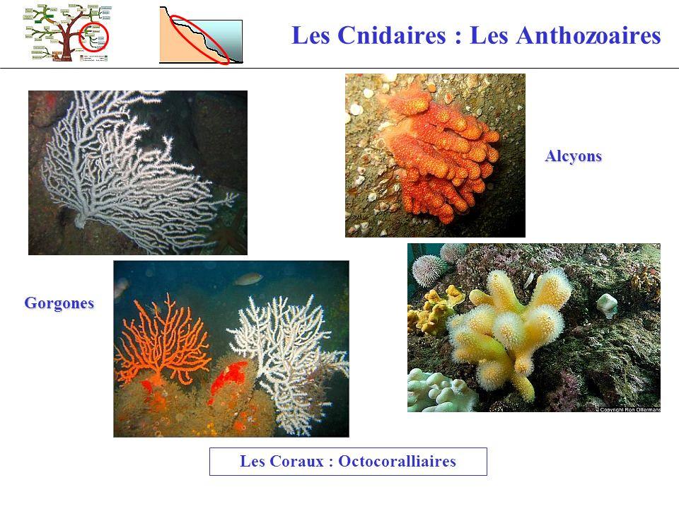 Les Cnidaires : Les Anthozoaires