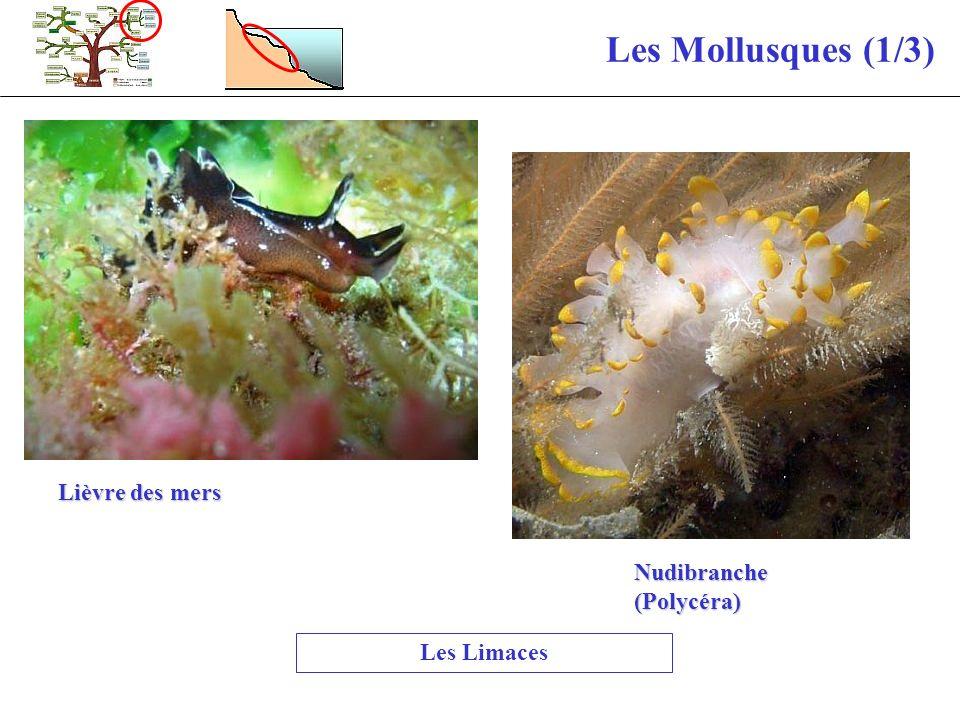 Les Mollusques (1/3) Lièvre des mers Nudibranche (Polycéra)