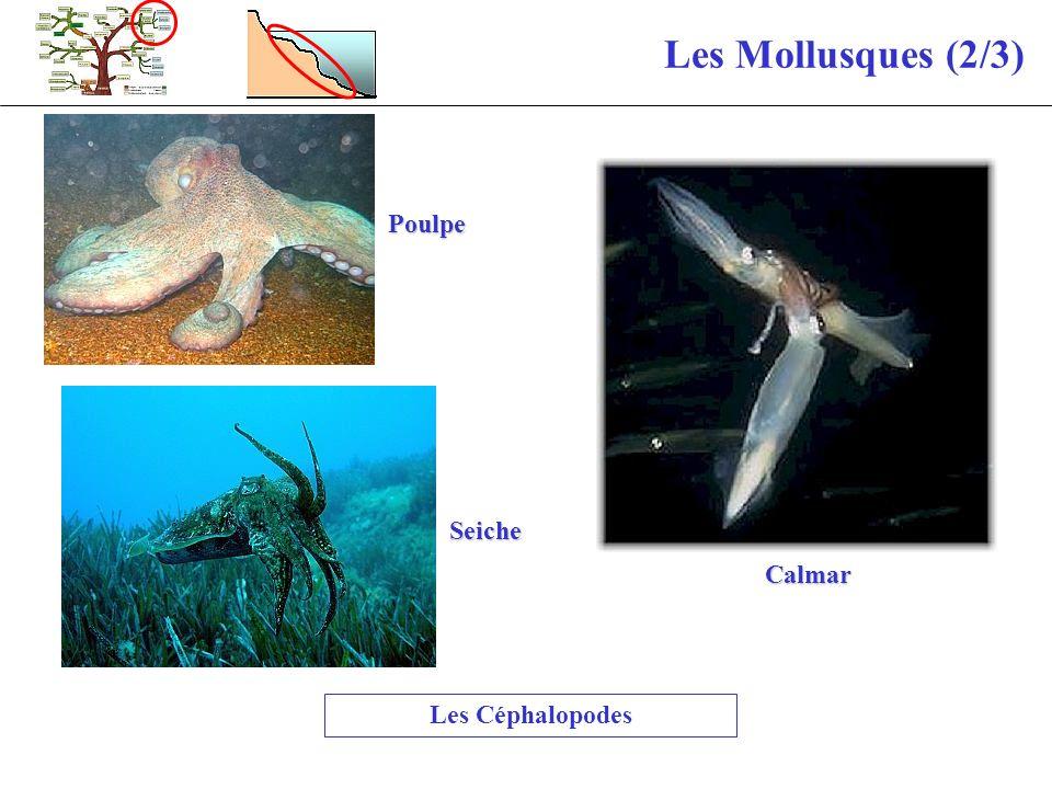 Les Mollusques (2/3) Poulpe Calmar Seiche Les Céphalopodes