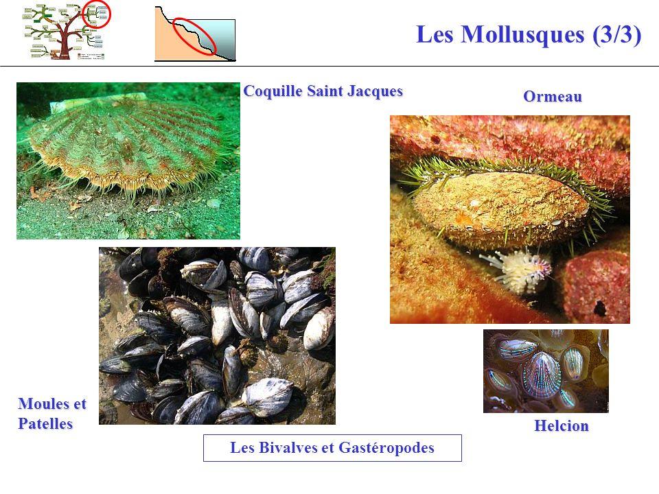 Les Bivalves et Gastéropodes