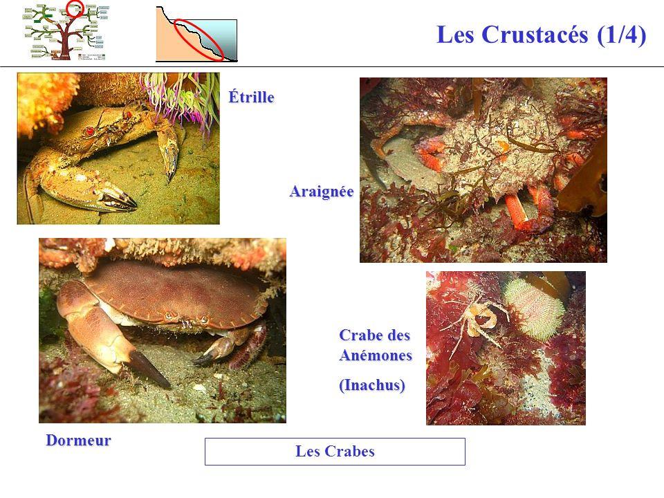 Les Crustacés (1/4) Étrille Araignée Crabe des Anémones (Inachus)