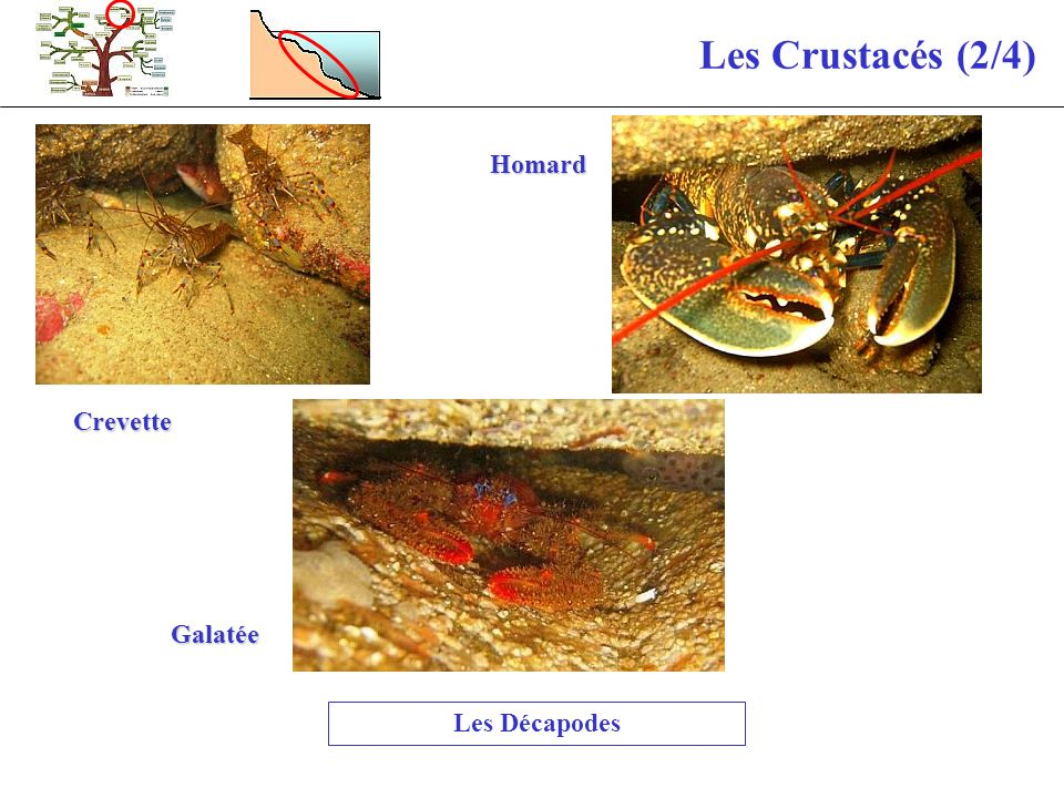 Les Crustacés (2/4) Homard Crevette Galatée Les Décapodes
