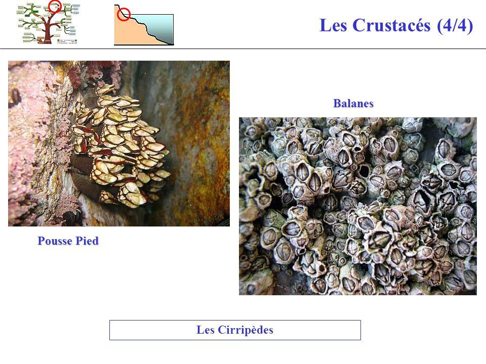 Les Crustacés (4/4) Pousse Pied Balanes Les Cirripèdes
