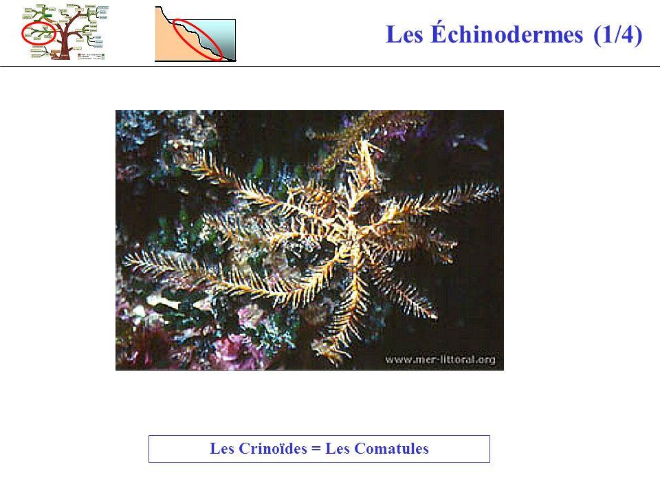 Les Crinoïdes = Les Comatules