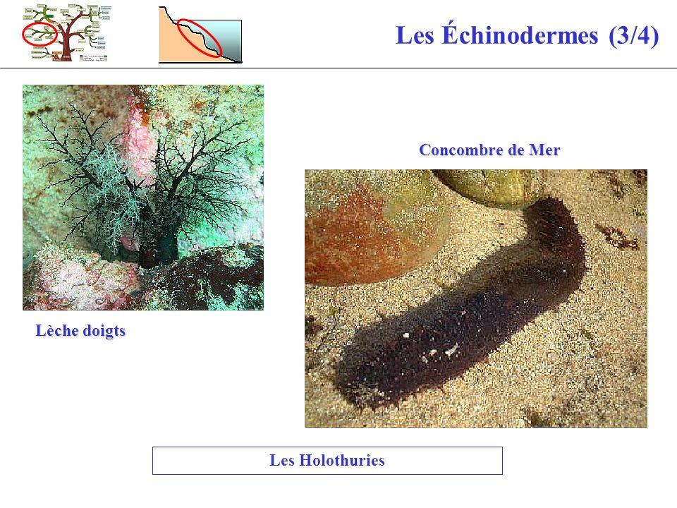 Les Échinodermes (3/4) Concombre de Mer Lèche doigts Les Holothuries
