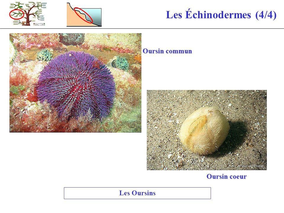 Les Échinodermes (4/4) Oursin commun Oursin coeur Les Oursins
