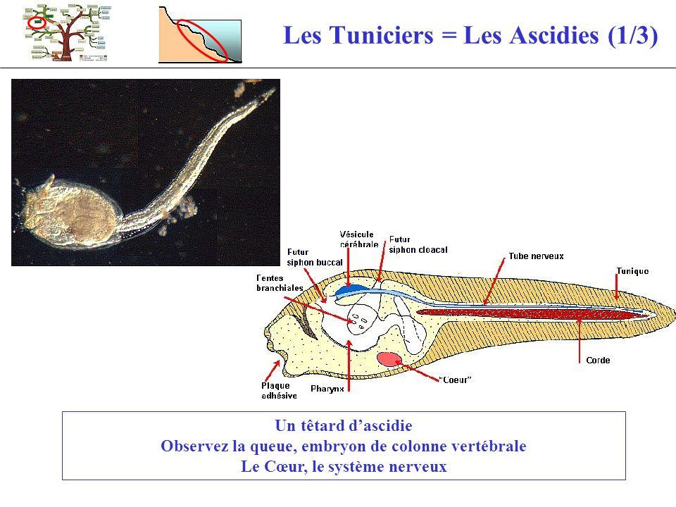 Les Tuniciers = Les Ascidies (1/3)