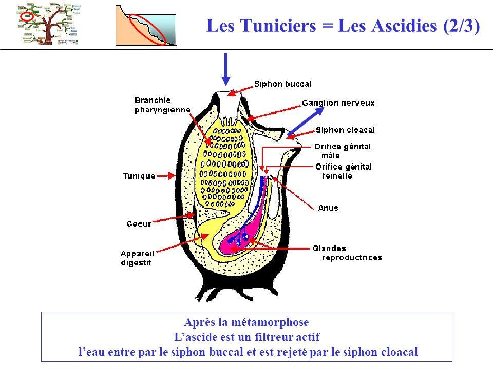 Les Tuniciers = Les Ascidies (2/3)