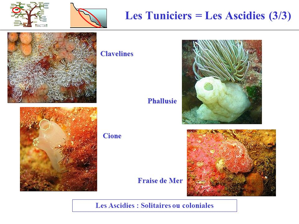 Les Tuniciers = Les Ascidies (3/3)