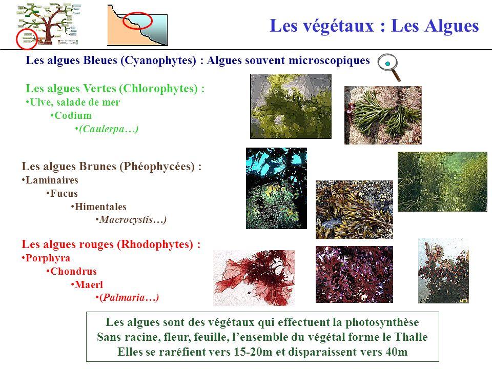 Les végétaux : Les Algues